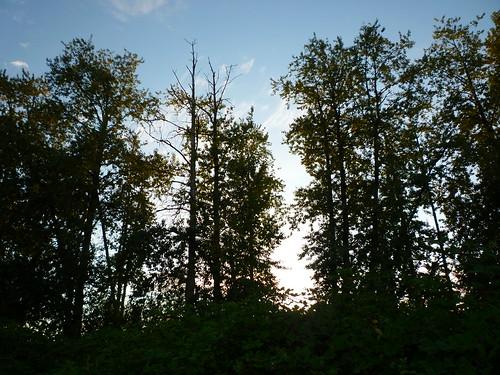 blackberry trees