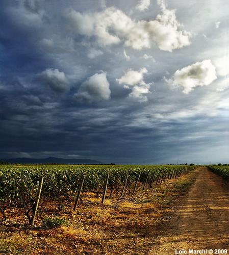 vignes corbieres