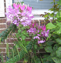 Cleome flowers (katxn) Tags: flowers yard garden front cleome