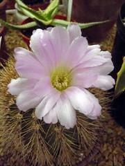 (cork3000) Tags: cacti succulent agave arid yucca echeveria echinocereus dudleya echinopsis dasylirion dyckia hechtia