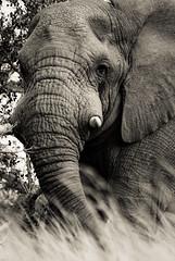 Noble éléphant (orang_asli) Tags: africa elephant nature animals southafrica mammal nationalpark champs fields elefant cochon imfolozi lieux afrique mammifère aficionados faune bushveld naturel afriquedusud savane parcnational géographie gographie mammifre elephantdafrique