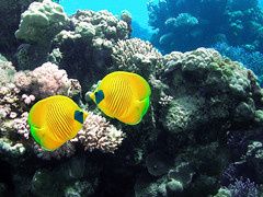 (Abdullah Samman) Tags: fish underwater redsea scubadiving reef coralreef underwatercamera marinelife underwaterphotography      redseafish     abdullahsamman