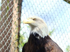 Hueston's bald eagle