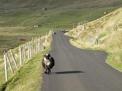 Rush Hour in Sumba, Faroe Islands (Eileen Sand) Tags: road travel nature landscape island islands europa europe village sheep lamb lonely scandinavia faroeislands faroe blacksheep oldroad fr sumba froyar frerne frer suuroy foroyar seyur lonelysheep suduroy lesfro naturallyartificial islasferoe sunnbur leuropepittoresque eileensand wyspyowcze