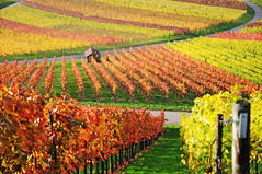 Autumn Vineyard (Habub3) Tags: weinberg vineyard herbst autumn colorful germany deutschland nikon d300 aplusphoto superaplus landschaft landscape habub3 explore travel nature andromeda photo flickrsbest remstal plant
