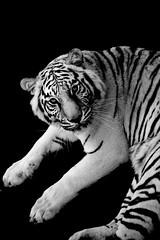 White Tiger (Maitreya 8) Tags: africa park white animals fauna wildlife south tiger national endangered kruger