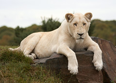 White Lion on a Rock (Julia-D) Tags: flickrbigcats
