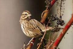 Song Sparrow (geno k) Tags: songsparrow