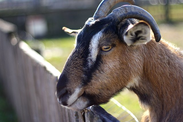 goat waiting for carrots