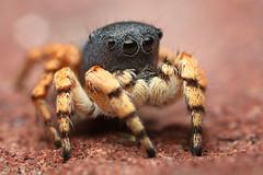 Male Habronattus ustulatus (Mundo Poco) Tags: macro canon spider jumping arachnid salticid mpe 65mm salticidae eos450d habronattus ustulatus rebelxsi