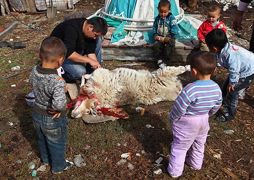 IMG_1501-w sheep