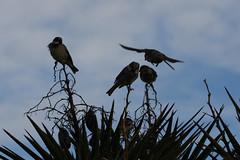 Sparrows (russellstreet) Tags: newzealand bird auckland sparrow nzl aucklandbotanicalgardens