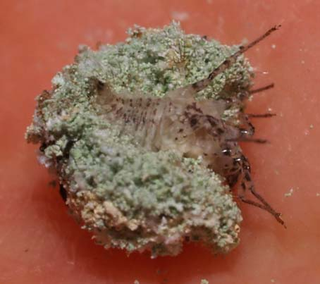 lacewing3