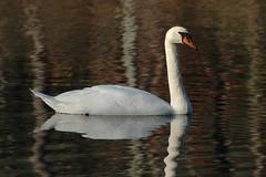 Swan (wrizzo64) Tags: park lake swan nikon state d70s nj parvin