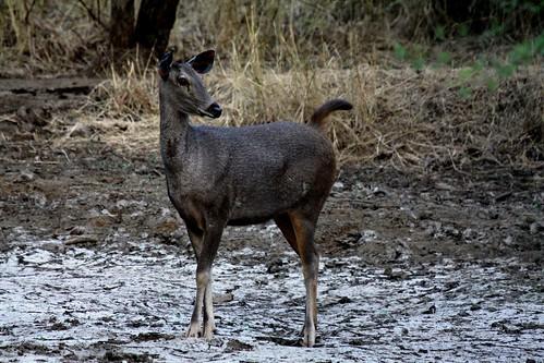 Low 2009-11-29 Sasan Gir - 01 Safari 25