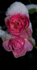rose with snow take 2 (MatiasSingers) Tags: pink winter snow rose frost pinkrose ilroseto