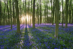 Hampshire:  Bluebells at Sunrise, Micheldever. (Mike-DT6) Tags: bluebells hampshire micheldever