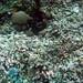Balicasag Island Marine Sanctuary Corals