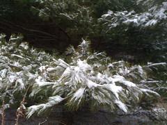 Snowny tree