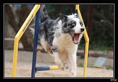 Moss (Valentin y Carmen) Tags: moss jump agility salto bordercollie barking ladrando agilidadcanina doctormateo canoneos450elhechizoperrodogchienpet