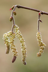 Hazel Catkins (steb1) Tags: flowers tree hazel catkins corylus avellana