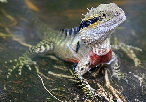 Australian Water Dragon Lizard: DRAGON D'EAU AUSTRALIEN : Physignathus Lesuerii