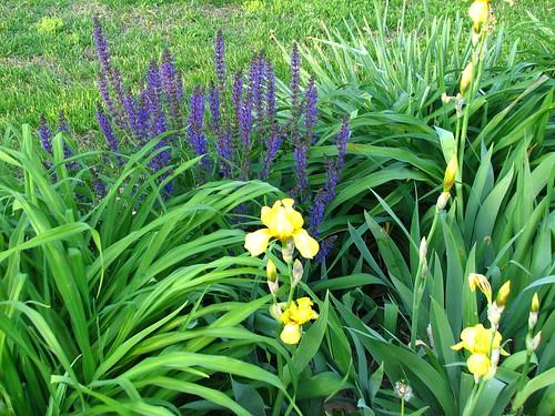meadow sage