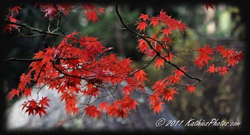 Maple tree at Autumn