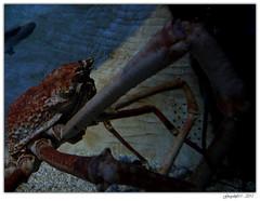 Crabzilla (Greyshift11) Tags: life sea mer france lumix dragon nemo clown panasonic bleu g1 mm 45mm dory dmc geant poissons 1445 200mm crabe 14mm murene crabzilla hippocampe chirurgien hippocampes dmcg1