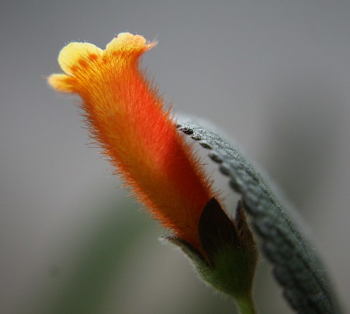 Kohleria Peridots Potlatch fuzzy flower