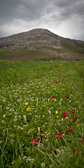 A few red tulips (macropoulos) Tags: flowers red green field vertical landscape geotagged spring tulips cloudy hill greece crete canonef2470mmf28lusm amari kampos canoneos5d spili gious gettyimagesgreece1 geo:lat=3521245018810316 geo:lon=2456771423809812
