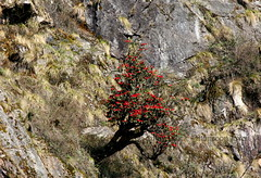 On The Rocks (Monsoon Lover) Tags: india nature rock flickr rockface rhododendron sikkim yumthang hangingtree northsikkim sudipguharay laching rhododendronsanctuary tsheringpintsobhutia northsikkimtouradvise singba singbarhododendronwildlifesanctuary northsikkimtour