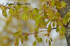 Spring Growth of a Norway Maple (18) - Day 40 (SewerDoc (200 Explores)) Tags: wild plant ontario canada flower macro reflection tree green nature leaves yellow closeup fruit leaf spring maple flora branch wildlife foliage explore growth acer twig bud deciduous rebirth botany sprout platanoides sprouting flickrexplore explored morphogenesis corymbs sewerdoc norwaymaple acerplatanoides jaredfein theoriginalgoldseal mygearandme norwegianmaple