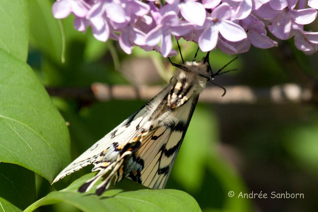 Eastern Tiger Swallowtail (Papilio glaucus)-20.jpg