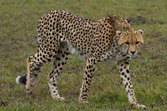 Masai Mara Safari - Cheetah (Adrian Cabrero (Mustagrapho)) Tags: africa animals kenya safari 7d cheetah adrian masaimara wildanimals cabrero 100400 masaimaranationalreserve canon100400f4556 intrepids canon7d adriancabrero mytummytalkstome cheetahstalking themasaimara masaimaraintrepidsclub summeronsafari cheetahstretching