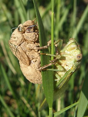 One Ugly Mofo...  and his mate (Annie in Beziers) Tags: france macro nature cicada spring insects bugs explore vineyards exoskeleton vignes languedoc creepycrawlies hrault walkingthedog puisserguier uglybugball annieinbziers cicadelleverte
