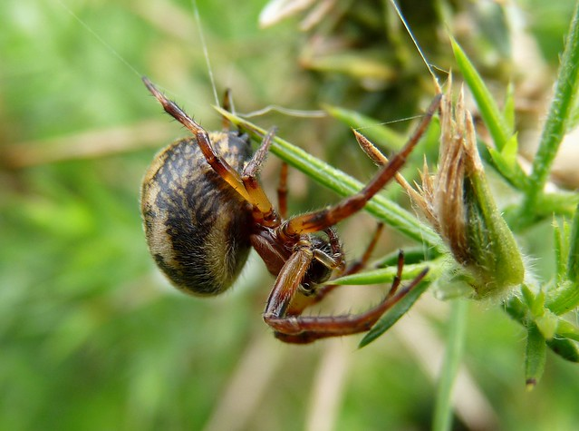 24415 - Spider, Pembrokeshire