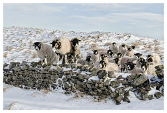 """""""Have You Brought Food?"""" (Digital Wanderings) Tags: sheep snow winter yorkshiredales england drystonewall wall climbing swaledalesheep"""