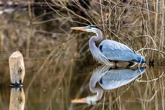You're My Boy, Blue! (cwhitted) Tags: gbh greatblueheron heron birdwatching pittsboro pittsborotownlakepark pittsboroparks chathamcounty canon eos canoneos7dmarkii sigma sigma150600mmcontemporary sigma150600mmf563dgoshsmcontemporary sigma150600mm sigma150600mmf563dgoshsmc water reflection