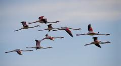 Phoenicopterus roseus (.....Christian Ferrer.....) Tags: phoenicopterus roseus lido thau sète hérault occitanie greater flamingo vol flight bird oiseau