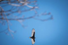 A Turkey Vulture in the sky (Mr.10G) Tags: rockefellerstateparkpreserve rockefellerstatepark turkeyvulture bird fly animal wildlife sleepyhollow winter outdoors