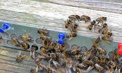 lots of activity (conall..) Tags: bee honeybee apis mellifera hive entrance gorse pollen nikonafsnikkorf18glens50mm