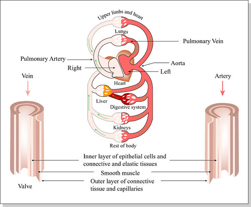 circulatory system diagram. Human Circulatory System