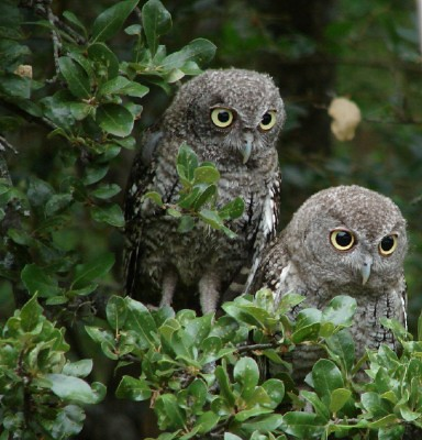 Screech owl pair
