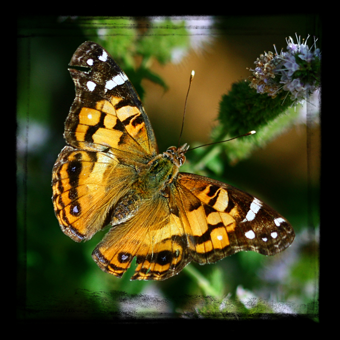 American Painted Lady TTV