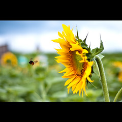 Don't Leave Me... (TheJbot) Tags: japan colorful bokeh flight bee sunflower  himawari distillery jbot  elitephotography thejbot