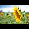 Don't Leave Me... (TheJbot) Tags: japan colorful bokeh flight bee sunflower 日本 himawari distillery jbot ひまわり elitephotography thejbot