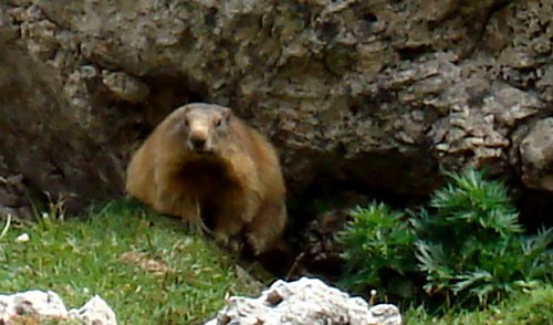 marmotta 1