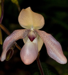 grumpy (glass eye2007) Tags: orchids showwinners
