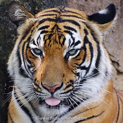 Tiger / Harimau (Firdaus Mahadi) Tags: cats animals asian zoo stripes tiger malaysia siberian predator tigris melaka bigcats malacca carnivore binatang panthera harimau felidae haiwan karnivor zoomelaka nikkor70300vr malaccahistoricalcity firdausmahadi melakabandarayabersejarah firdaus